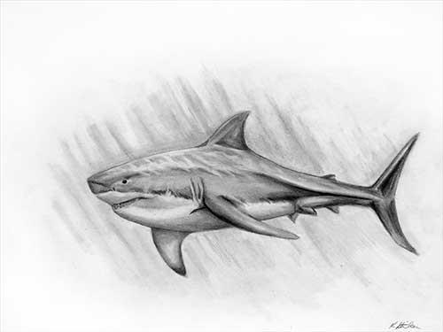 "Art Gallery   ""Shark"" pencil sketch by Kaylene Striker ..."